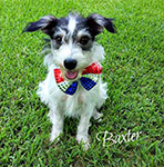 Russell Resue Ca Jack Russell Terrier Rescue : Other