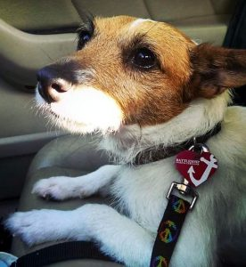 adopt a jack russell from rescue
