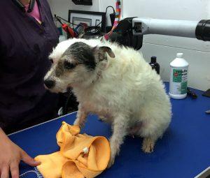 Gracie - Spotlight Terrier